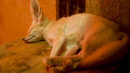 zsír : Fennec fox sleeping in her cage at the zoo. Beautiful furry captive animal
