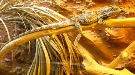 pogona : Reptile in the terrarium sitting on a branch in the zoo Stock Footage