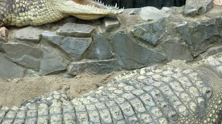 crocodilo : Two big alligators in the terrarium at the zoo. One is holding his mouth wide open and you can see his teeth