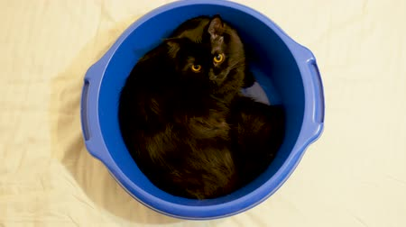 mourek : Funny animal video - big black norwegian forest cat sitting in a blue bowl and looking away. Top view