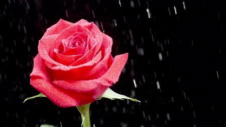 adore : Beautiful rain falls on red rose over black background. Rain drops on the petals reflect beautiful lights. Stock Footage