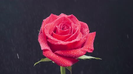 adore : Red rose sprinkled with rain water in slow motion. Beautiful flower sprayed with water from the top.
