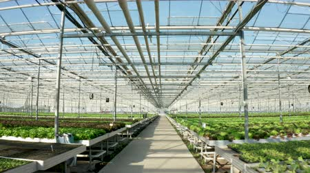 hydroponic : Aerial footage above growing green lettuce in the greenhouse with high tech technology.
