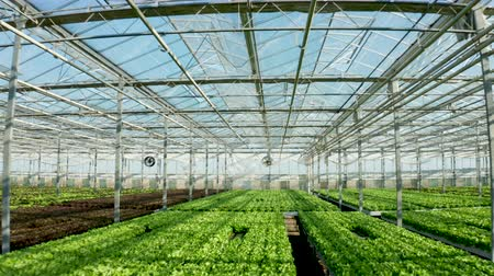 Aeriel view of modern agriculture in a greenhouse with growing lettuce. Wideo