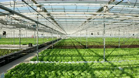 Drone shot of modern greenhouse interior with salad growing in it. Aerial view