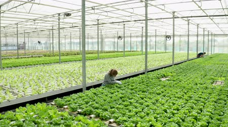 Aerial footage in a greenhouse with moder agriculture technology for growing green salad.