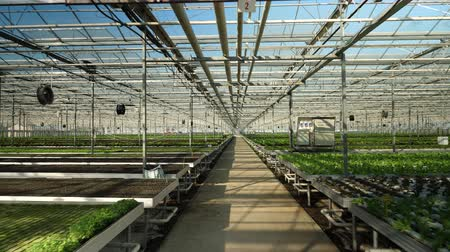 Aerial view with drone flying in a greenhouse with modern technology for growing vegetables.