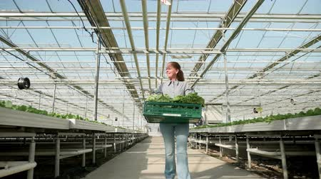 Farm worker with salad box in a modern greenhouse after vegetables cultivation.