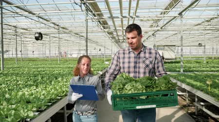 Farmers in greenhouse with modern technology for growing vegetables carry a box of green salad