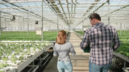 Back view of farmer walking with a box of green salad in a greenhouse with modern farming technology.
