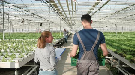 Back view of agriculture worker carrying a box of green salad in a modern greenhouse Stockvideo