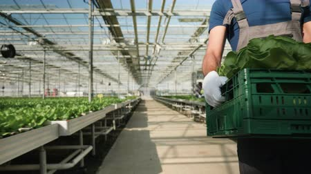 Agriculture worker carry a box of green salad in greenhouse in the summer.