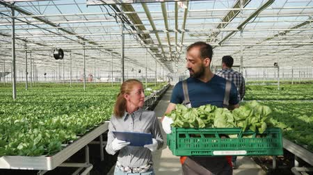 Farm worker with a female agronomist carry a box with green salad in a greenhouse with modern agricultural technology.