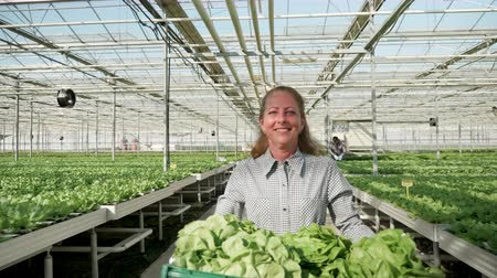 commercial cultivation : Woman farmer with a box of green salad after cultivation in a greenhouse.