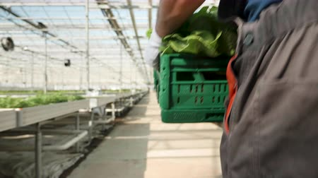 commercial cultivation : Agriculture worker in a greenhouse carry a box of green salad fresh harvested.