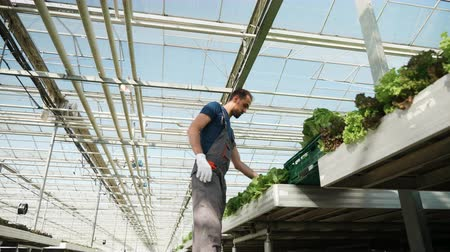 hydroponic : Farmen in a greenhouse harvesting green salad in a box. Farming industry.