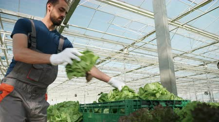 rolnik : Farmer in a greenhouse with modern technology harvesting green salad in a box.