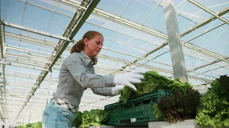 hydroponic : Female fermer in a greenhouse with modern technology harvesting organic green salad in a box.