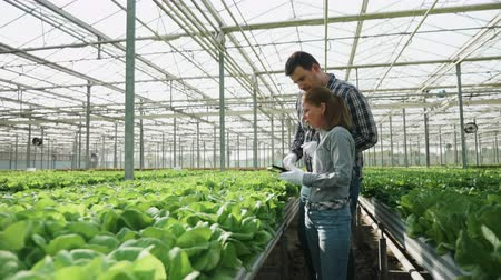 agronomist : Agronomy engineers checking a production of organic green salad in greenhouse with modern production technology.