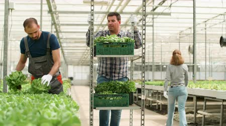 inspecting : Farm worker in a modern greenhouse harvesting green salad Stock Footage