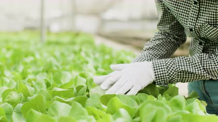 Close up of female farm worker inspecting green salad plants Wideo