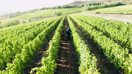 grape basket : Beautiful caucasian couple walking in vineyard with glasses of wine in hands