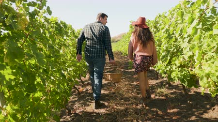 viticultura : Couple walking in a vineyard with a basket of grapes in hand, slow motion footage. Back view