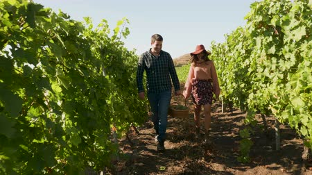 viticultura : Man carrying a basket with grapes walking in vineyard with a woman next to him, slow motion footage