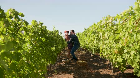 grape basket : Couple on a romantic date in a vineyard, the man takes the woman in his hands, slow motion footage Stock Footage