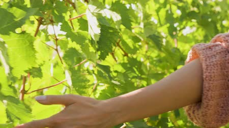 szőlőművelés : Unrecognisable woman hand touching vine in slow motion