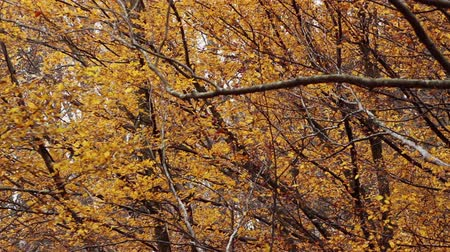 lombhullató : HD 1080 static: beech forest at autumn; trees and leaves waving on slow wind; backlit;
