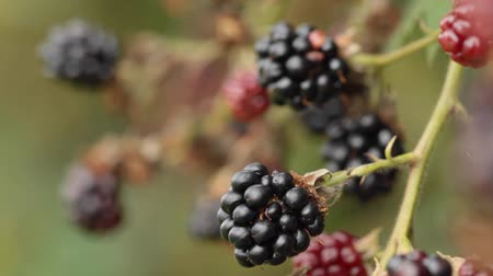 amoras : HD 1080 close up: blackberry fruits waving at wind Stock Footage