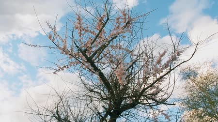 porzó : Branches of a blossoming Apple trees sway in the wind