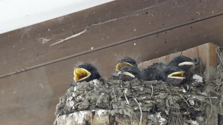 pintos : Feeding birds in the nest Stock Footage