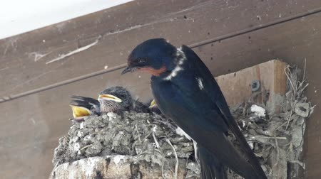 csajok : Chicks of swallows
