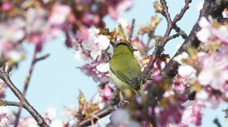 Kawazu cherry blossom and Japanese white-eye