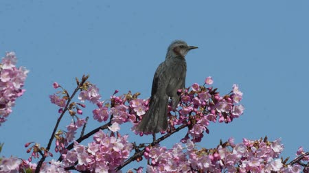 Kawazu cherry blossoms and Brown-eared bulbul