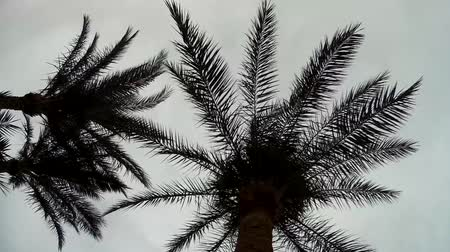 vaha : Palm Trees silhouette against cloudy Sky Stok Video