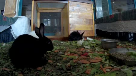 lobi : Young rabbits in a hotel lobby front view Stok Video