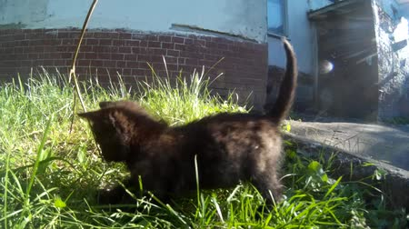 Feral stray black kitten playing on the street