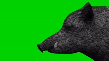 Wild boar on a green screen background animation
