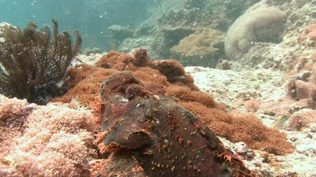 scorpionfish : Scorpion fish. Diving in the Andaman sea near Thailand.