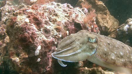 cuttlefish : Pharaohs cuttlefish. Diving in the Philippines near the island of Malapascua.