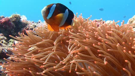 potápění : Diving in the Philippines near the island of Malapascua. Symbiosis of clown fish and anemones.