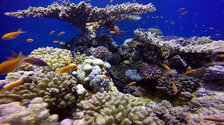 rafa : Colorful coral reef. Diving in the Red sea near Egypt.