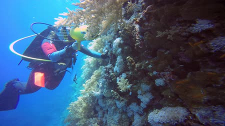 scorpionfish : Scorpiofish. Diving in the Red sea near Egypt. Stock Footage