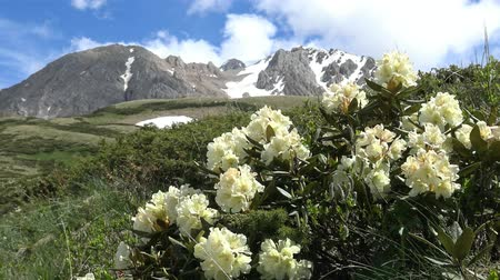 rhododendron : Hiking in the vicinity of the Oshten. Blooming rhododendrons. The Caucasian mountains. Russia.