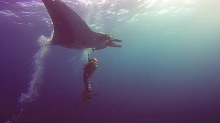 diabeł : Gorgeous underwater dive with large manta rays off Socorro island. Diving in the Pacific ocean near Mexico.