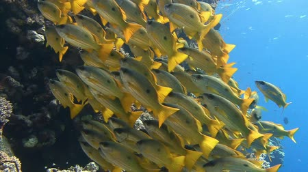 potápěč : A flock of colorful snappersfish. Diving in the Red sea near Egypt.