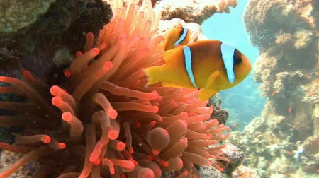 rafa : Symbiosis of clown fish and anemones. Diving in the Red sea near Egypt.
